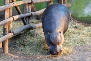 Бегемот в зоопарке Рима
