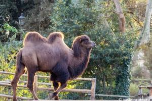 Верблюд в зоопарке Рима