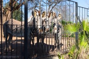 Зебры в Римском зоопарке